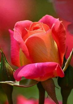 Magnificent rose with pink and orange petals Amazing Flowers, Beautiful Roses, My Flower, Beautiful Gardens, Beautiful Flowers, Beautiful Pictures, Pretty Roses, Beautiful Stories, Amazing Photos