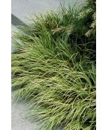 The grass that was at the nursery in SD. Sweet Flag Acorus Oborozuki Variegated
