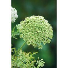 I have just purchased Ammi visnaga from Sarah Raven - http://www.sarahraven.com/flowers/plants/cut_flower_seedlings/ammi_visnaga.htm