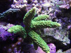32g nano reef ...LA RENAISSANCE