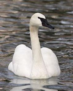 Trumpeter Swan identification Types Of Ducks, Trumpeter Swan, Swan Song, Kinds Of Birds, Life List, Backyard Birds, Anatomy Art, Drawing Stuff, Head And Neck