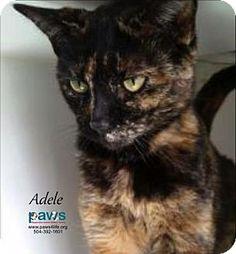 Belle Chasse, LA - Domestic Shorthair. Meet Adele, a cat for adoption. http://www.adoptapet.com/pet/17026477-belle-chasse-louisiana-cat
