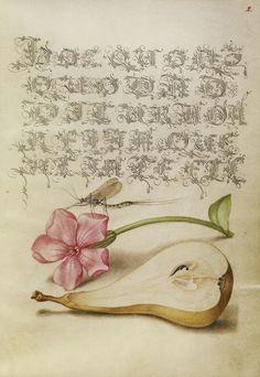 Mayfly, Red Campion, and Pear,  Joris Hoefnagel illuminator, Mira calligraphiae monumenta 86.MV.527.