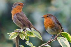 European Robins (Erithacus rubecula)