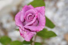 Light Purple Roses - Bing Images Desktop Themes, Purple Roses, Light Purple, Spring Flowers, Bing Images, Leaves, Green, Nature, Plants