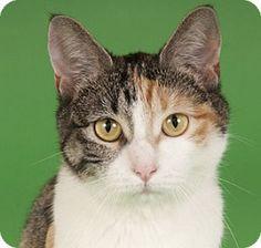 Chicago, IL - Calico. Meet Sandy, a cat for adoption. http://www.adoptapet.com/pet/11422438-chicago-illinois-cat