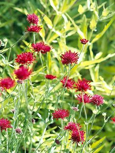 The pincushion-like flowers of knautia are a striking reddish-purple color. They are carried on slender branched stems that weave gracefully among nearby plants. Knautia is ideal for cottage or wild gardens as well as more formal sites.