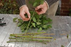 propagating rose and hardwood cuttings