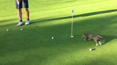 Ben the cat loves to play golf. The trouble is that Ben's favored position is goalie. If more courses offered the option of cat Haha Funny, Funny Cats, Funny Animals, Cute Animals, Funny Stuff, Crazy Cat Lady, Crazy Cats, Cyberpunk, Play Golf