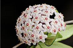 Flor de Cera - Wax Flower