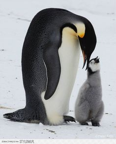 Emperor Penguin Family - Photograph at BetterPhoto.com na Stylowi.pl