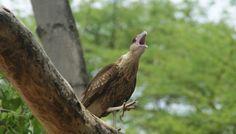 Krijsende warawara bij de kleine knip in Curacao Bald Eagle, Animals, Animales, Animaux, Animal, Animais