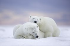 Polar Bears and Pink Sky by Matthew Studebaker