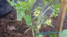 Flowers on the tomatoes. #allotment #gardening