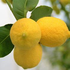 Lemons everywhere #lemons #lemontree #fruits #crete #kriti #cretan #lovecrete #meanwhileincrete