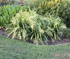 TROPIC CASCADE™ is a compact weeping Lomandra with large fragrant yellow male flowers that will not produce seed Lomandra, Landscaping Plants, Garden Design, Seeds, Tropical, Leaves, Landscape, Flowers, Compact