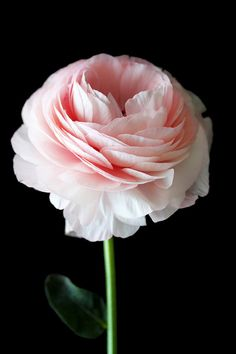 Light Pink Ranunculus by gabyburger on Etsy