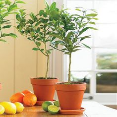 Key Lime Tree for sale.... Can grow in the same pot up to 4 or 5 feet