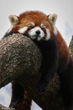 https://flic.kr/p/F712uh   Cincinnati Zoo 3-12-16-5310   Red Panda (I believe Dr. Erin Curry)