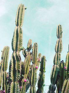 Desert cactus blooming
