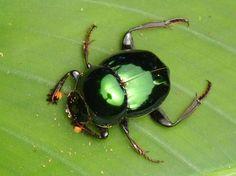 Dung beetle, Scarabaeidae from Yasuni National Park