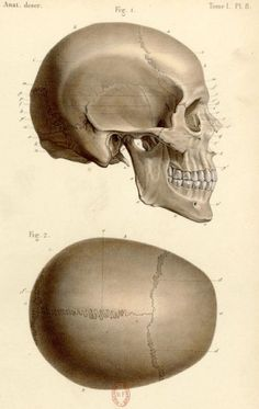 Art print vintage paper old paper anatomy human body antique old paper PP 0057 Anatomy Sketches, Anatomy Drawing, Anatomy Art, Skull Anatomy, Head Anatomy, Skull Reference, Anatomy Reference, Neck Muscle Anatomy, Sculpture Head