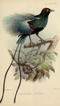 ser. 5, v. 4 (1886) - Ibis.