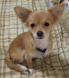 Chihuahua and Jack Russell mix...im twice as cute www.pet360.com