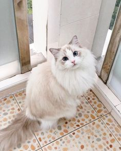 Excellent Snap Shots large Ragdoll Cats Style The big, floppy Ragdoll is often a lovable accessory for just about any dog lover's home. Called for her trend. White Ragdoll Cat, Ragdoll Cat Colors, Ragdoll Cat Breed, White Cats, Cute Cats And Kittens, Baby Cats, Kittens Cutest, Funny Kittens, Pretty Cats