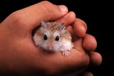 Hamsters make great pets if you take care of them and interact with them daily to keep them tame. Their lifespan is about two to three years on average, but . Hamster Breeds, Animals Beautiful, Cute Animals, Class Pet, Hamster Care, Cute Hamsters, Rodents, Pets, Les Twins