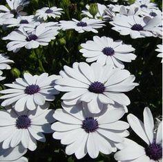 white osteoapermum