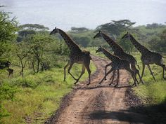 Serengeti National Park | Ngazi Tours and Safaris: Serengeti National Park