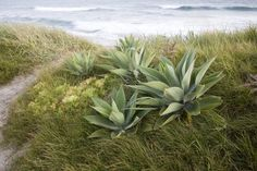 agave attentuata mixed with low grasses.  Totally
