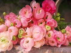 ranunculus. perfect flower