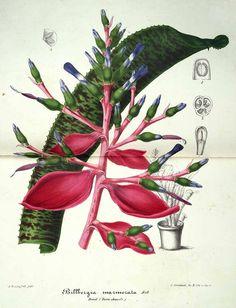 30393 Quesnelia marmorata (Lemaire) Read [as Billbergia marmorata Lemaire]  / L' Illustration horticole, vol. 2: t. 48 (1855)