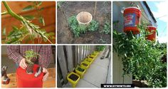 Gardening Tips to Grow Tomatoes In Containers: Various Ways To Grow and Harvest Tomatoes