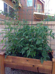 Tomatoes week 4