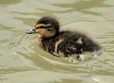The Old Girl says that a mother duck having reared the ducklings instinctively…
