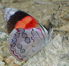 Orange-striped Eighty-eight (Diaethria pandama)