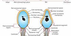 Instituto Europeo de Fertilidad Espermatozoide Morfologia Completa
