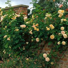 Alchymist - David Austin Roses climber, once flowering strong f