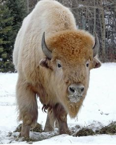 White buffalo is an American Bison that is considered to be sacred signs in several Native American religions, and thus have great spiritual importance. White buffalo are extremely rare; the National Bison Association has estimated that they only occur in Rare Animals, Animals And Pets, Wild Animals, Animals Planet, Strange Animals, Beautiful Creatures, Animals Beautiful, White Bison, White Wolf