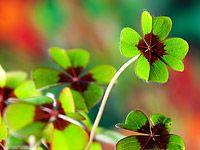 Pestrobarevný štavel lze pěstovat na zahradě i v bytě