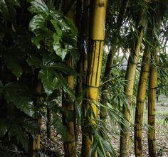 Verde amarillo del bambu
