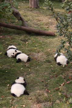 Er Qiao, He Mei, He Qi and Xing Mei at the Chengdu Panda Base in China on November 13, 2011. © Jeroen Jacobs.