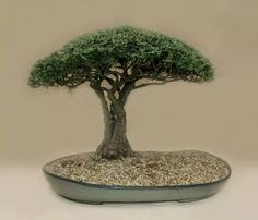 2012-1 – height 60 cm –Buddleaya saligna Bonsai – False Olive - Buddleja – styled by Louis Nel – African style - Stellenbosch Botanical Gardens South Africa Image 16 / 47