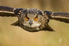 Eagle Owl, by Sue Dudley. At The Barn Owl Centre, Gloucestershire. (Uncropped).