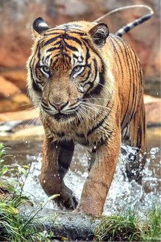 """* * TIGER: """" It's a shame that man and beast can't get along and that humans are so cruel. Enough to make a sane tiger crazy, and a crazy one cry."""""""