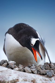 Gentoo Penguin in Antarctica..they make their nests out of small stones, and a male penguin can obtain the favors of a female by offering her a 'very nice' stone. :)