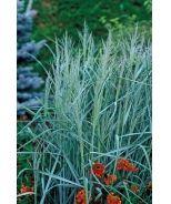yard  Prairie Sky Blue Switch Grass (Panicum virgatum 'Prairie Sky') - Monrovia - Prairie Sky Blue Switch Grass (Panicum virgatum 'Prairie Sky')